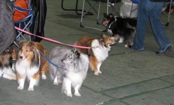Lots of happy faces at the Minnesota Sheltie Rescue Reunion on Saturday.
