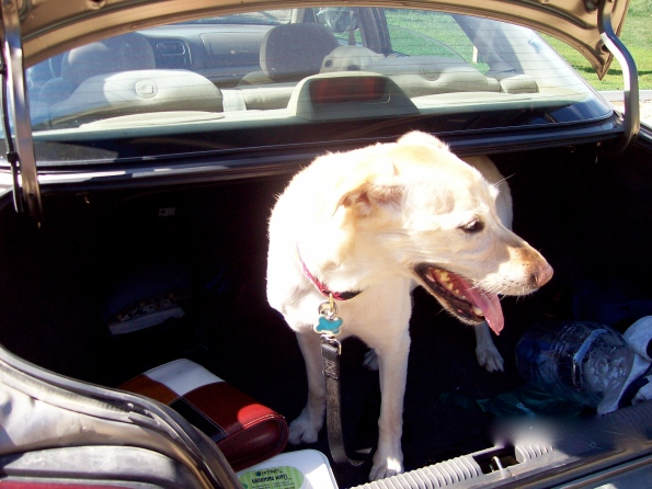 Maggie assumed all cars were SUVs. When I opened the trunk to put the water jugs in, she jumped inside. Silly girl.